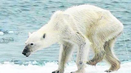 Impactante-foto-oso-polar-desnutrido_IECIMA20150901_0024_7.jpg